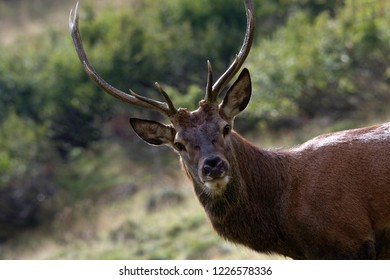 A young stag