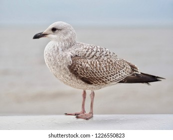 Young Standing Gull