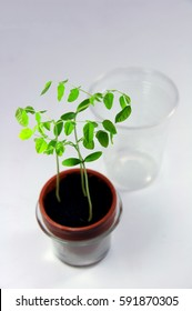 Young starfruit plants growing from seeds in a mini greenhouse - plastic cup in background