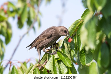 Young starling eats red cherries in a cherry tree