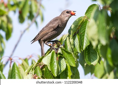 Young starling stealing red cherries in a green tree
