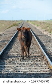Young steer walking on the train tracks in the Pampas