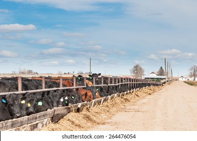 Young steers being fattened for beef at a feedlot in central Colorado, USA.
