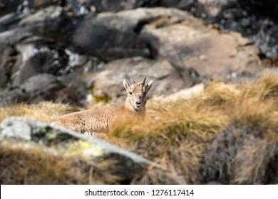 Young steinbock. Alpine Ibex (Capra ibex) puppy, Gran Paradiso National Park, Italy