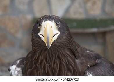 Young Steller's sea eagle (Haliaeetus pelagicus)