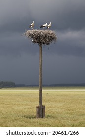 Young storks against dark clouds.