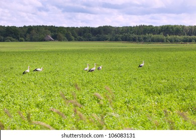 Young storks in meadow.