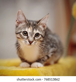 The young striped cat with brown eyes