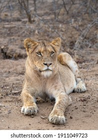 Young sub adult lion sitting