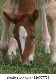 A young Suffolk Punch foal bends down to graze.
