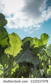 Young sugar beet plant in field, agricultural concept