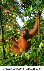 Young Sumatran orangutan (Pongo abelii) sitting on trees in Gunung Leuser National Park, Sumatra, Indonesia. Sumatran orangutan is endemic to the north of Sumatra and is critically endangered.