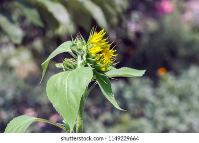 Young sunflower on a blurry pastel background (Helianthus annuus)