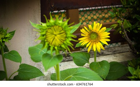 The young sunflowers