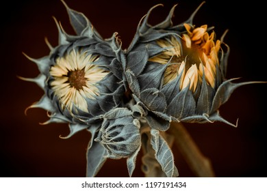 young sunflowers on a black background, studio shot.