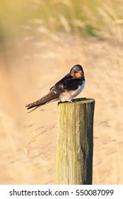 Young Swallow waiting to fly south