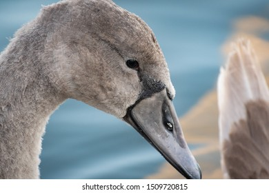 Young swan close up in Kaban Lakes in Kazan, Russia