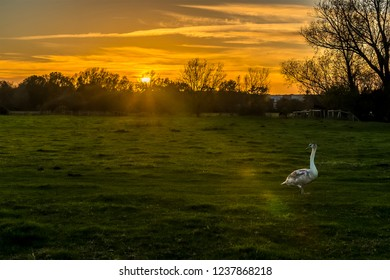 A young swan crosses the river meadow at sunset on the western edge of Sudbury, Suffolk