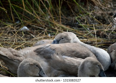 Young swan cygnet resting.