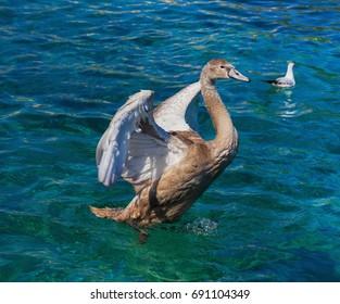 Young swan on Lake Geneva in Switzerland.