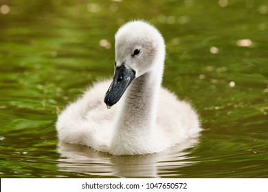Young Swan swimming