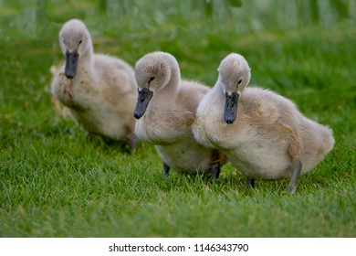 Young swans, birds of the Cygnini tribe (Anatidae)
