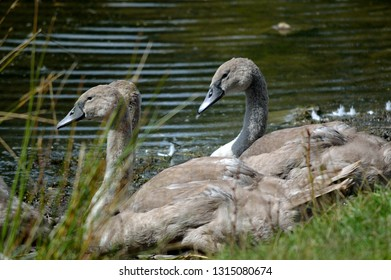 Young swans cygnets by the waters edge.