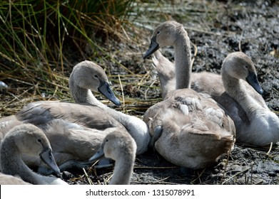 Young swans cygnets resting together.