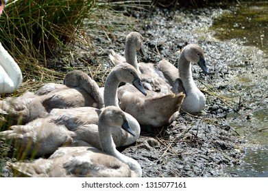 Young swans cygnets sitting at the waters edge.