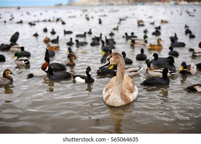 young swans and different species of ducks on the beach