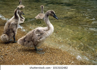 Young swans on the coast