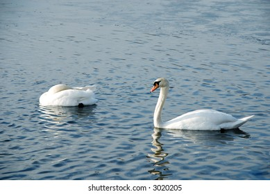 Young Swans On the Lake