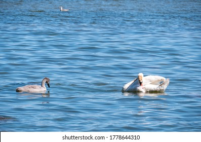 Young swans on the sea