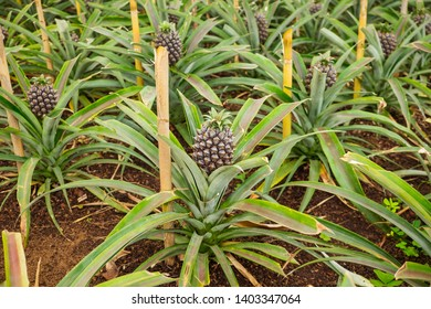 Young sweet pineapple growing on a farm in the greenhouse on the Azores.