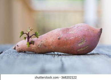 Young sweet potato sprout.