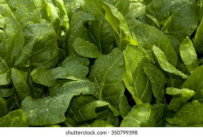Young Swiss chard