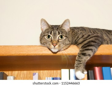 Young tabby cat grey and tan with white paws laying on the top of a bookshelf looking at viewer as if guarding books. Copy space.