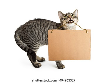Young tabby cat holding blank cardboard sign in mouth
