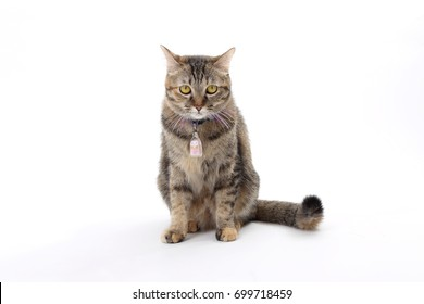 The young tabby cat on the white background.