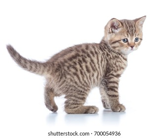 Young tabby cat side view. Walking kitten isolated.