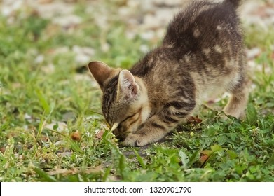 Young Tabby Kitten Scratching or Digging on the Ground
