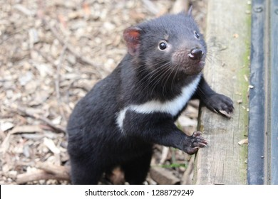 Young Tasmanian Devil.  Cradle Mountain, Tasmania.