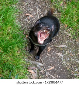 A young Tasmanian Devil screaming at the observer while showing its large and fearsome teeth.