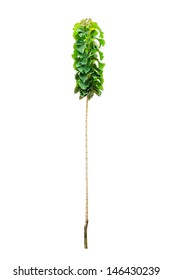 Young teak tree isolated on white background