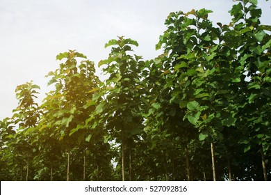 Young Teak Trees Plantation