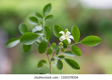 young tender plant of muraia. a small tree of the emperor. fragrant white flower.