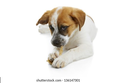 Young terrier dog eating rawhide treat over white background.