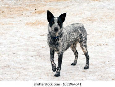Young Texas Heeler dog standing on frozen, snowy ground looking at the viewer
