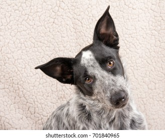 Young Texas Heeler looking at the camera with a questioning expression on her face, tilting her head