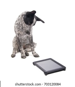 Young Texas Heeler looking at a computer tablet attentively with a tilted head, on white
